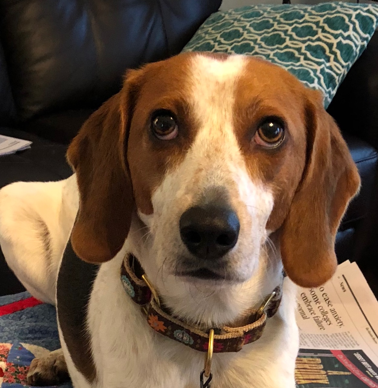 Sammy is a brown and white Beagle wearing a colorful collar that has a floral pattern. His brown eyes are raised up as he looks up toward the person taking the photo.