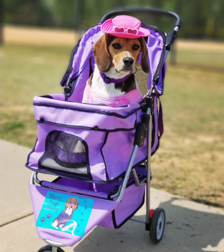 This is Zoey, a Beagle, sitting in a baby stroller, wearing a red dress, purple collar and a red hat with little hearts on the front of it.