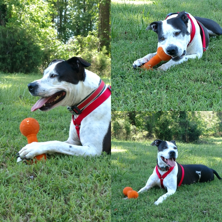 This is a collage of photos showing Tikvah, a black and white Staffordshire/ Pit Bull mix. In all the photos, she is playing with a plastic, orange bone.