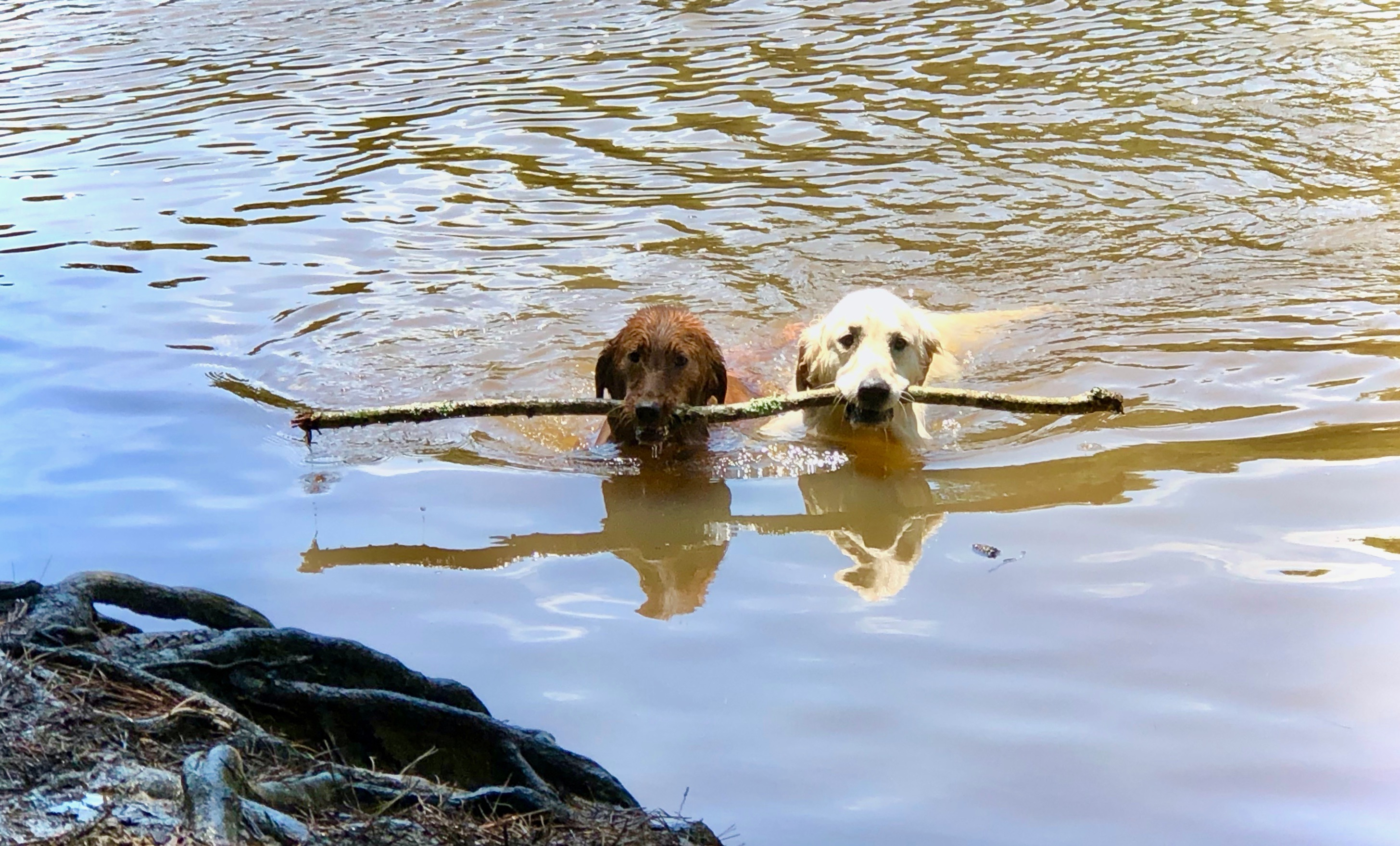 Two dogs carry a tree branch to shore while swimming in the lake at the Mary Warner Mack Dog Park in Fort Mill.